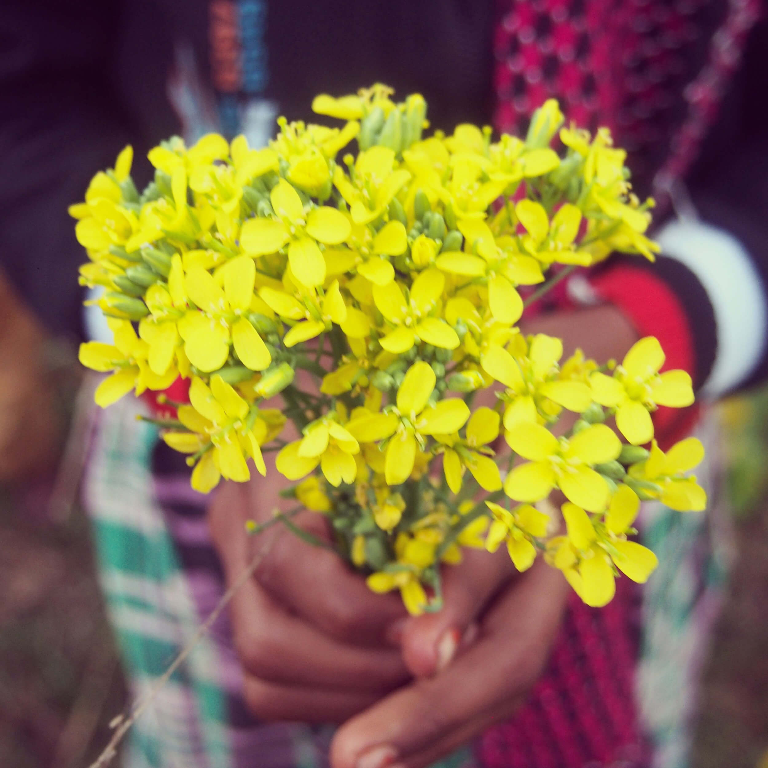 Hand of a girl with a bouquet of yellow mustard
