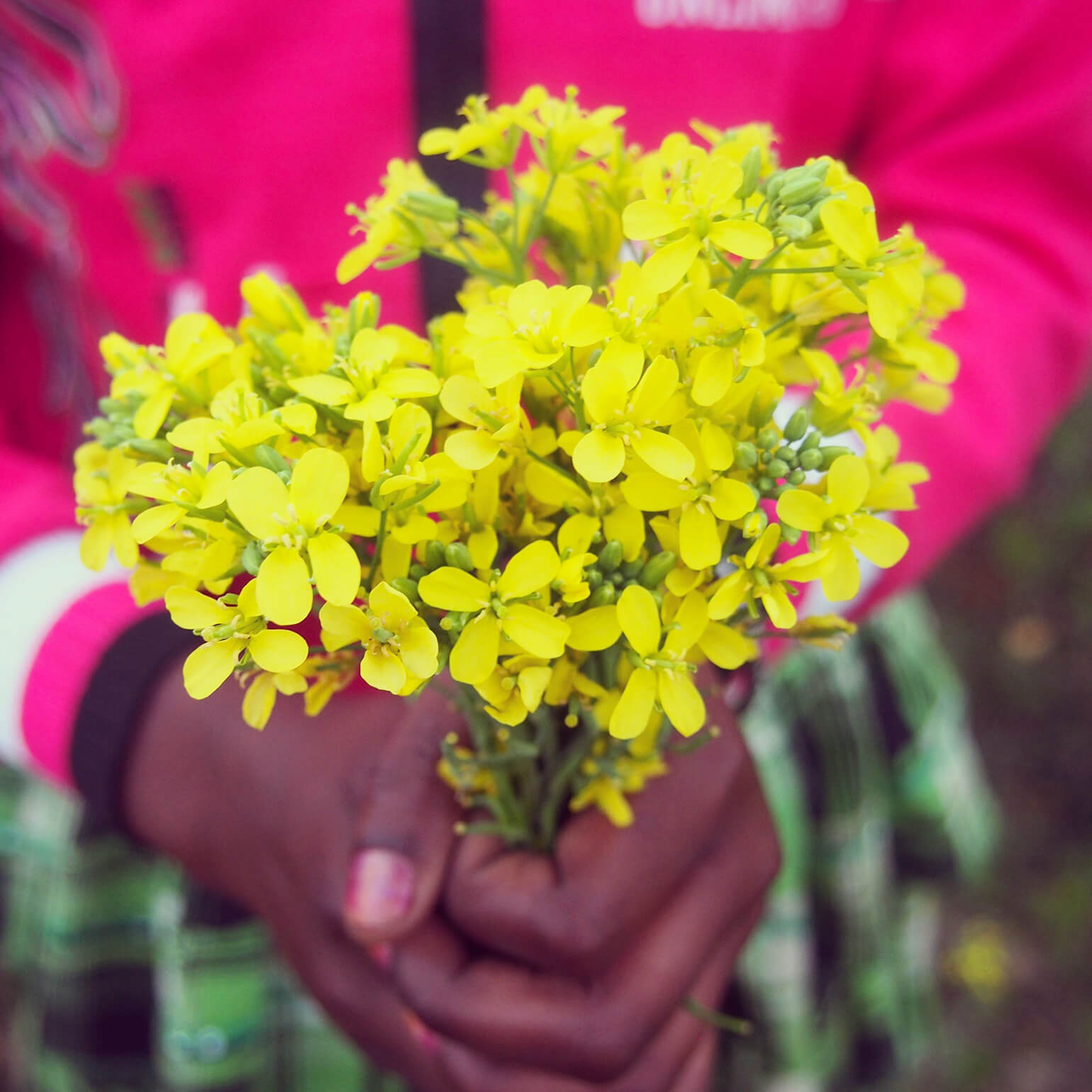 Hands of a girl with a bouquet of mustard blooming in the suburbs of India